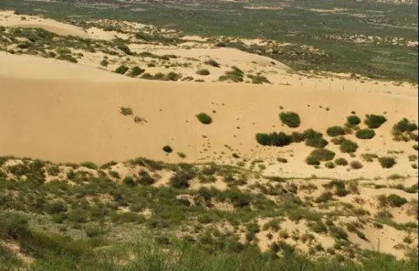毛梾——荒漠绿化的树种